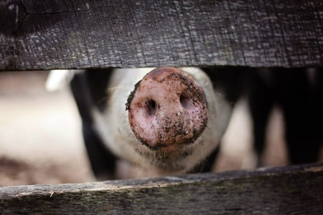 Pig with dirty nose.