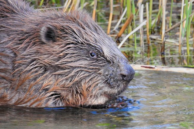 A beaver.